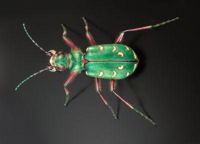 Asiatische käfer