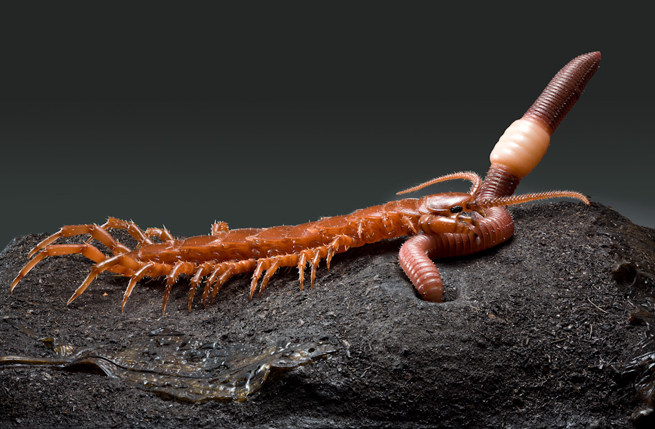 centipede with earthworm insect models julia stoess